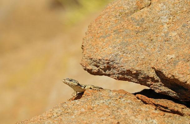 Karoo Girdled Lizard (Karusaurus polyzonus)