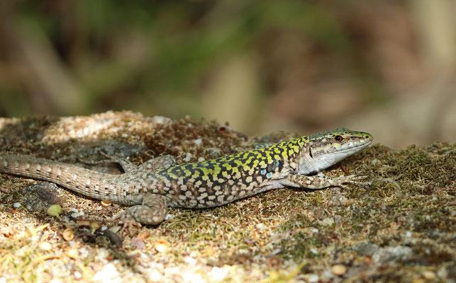 Italian Wall Lizard (Podarcis siculus) male