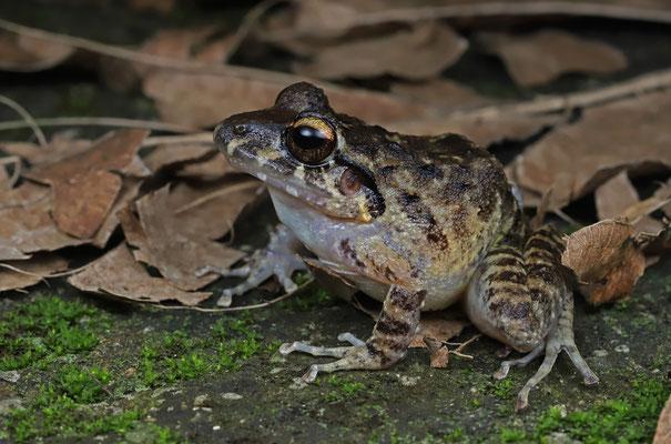 Unidentified Robber Frog (Craugastor spec.)