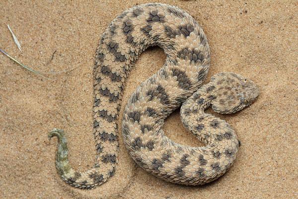 Sahara Sand Viper (Cerastes vipera)