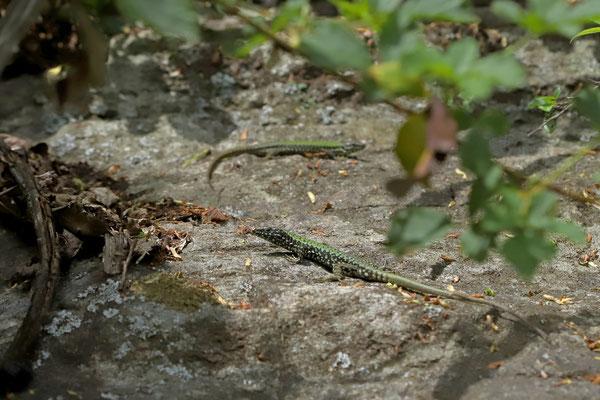 Wall Lizards (Podarcis muralis nigriventris) being a bit flirty.
