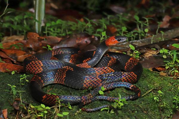 Halloween Snake (Oxyrhopus petola)