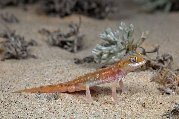 Austen's Dune Gecko (Pachydactylus austeni) male