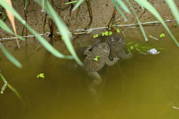 Yellow-bellied Toads (Bombina variegata)