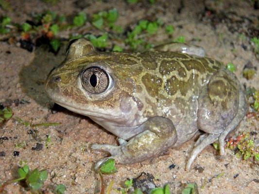 Moroccan Spadefoot Toad (Pelobates varaldii)