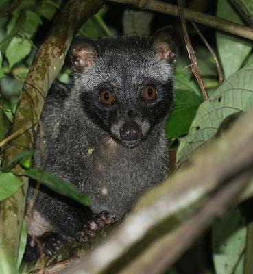 Sumatran Palm Civet (Paradoxurus musangus) © Jasper Boldingh