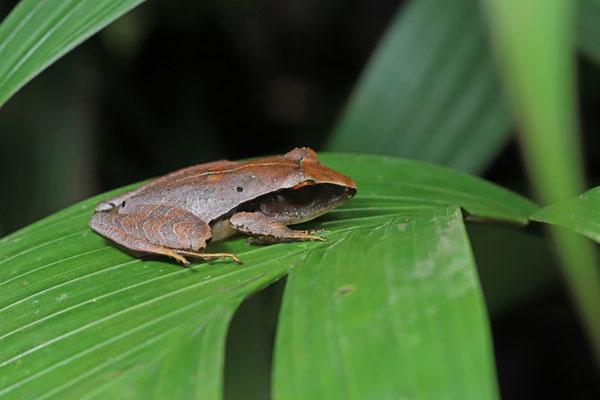 Red-eyed Masked Litter Frog (Craugastor gollmeri)