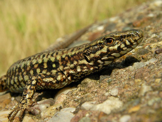 Common Wall Lizard (Podarcis muralis) male, Maastricht, The Netherlands, August 2009