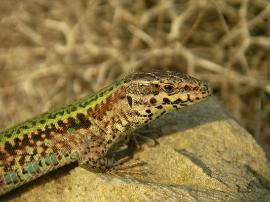 Skyros Wall Lizard (Podarcis gaigeae)