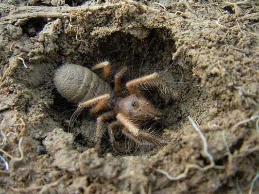 Camel Spider (Solifugidae)