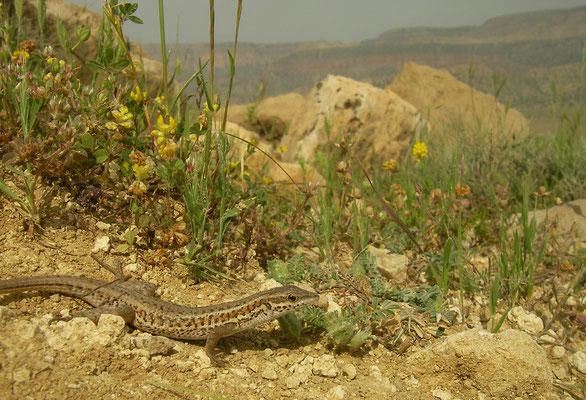 Snake-eyed lacertid (Ophisops elegans) in habitat