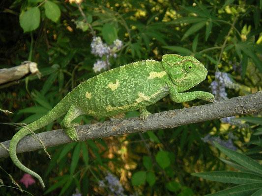 Mediterranean Chameleon (Chamaeleo chamaeleon), Samos, Greece, July 2015