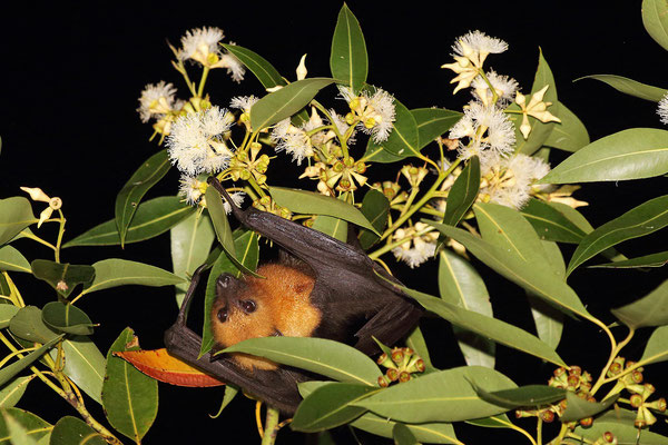 Seychelles Fruitbat (Pteropus seychellensis) foraging in the canopy.