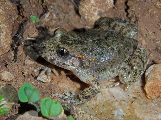 Moroccan Midwife Toad (Alytes maurus) looks very similar to the Western European Alytes obstetricans but is closely related to A. dickhilleni and A. muletensis.