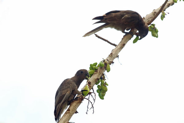 Praslin Parrots (Coracopsis barklyi) feeding on Bilimbi (Averrhoa bilimbi)