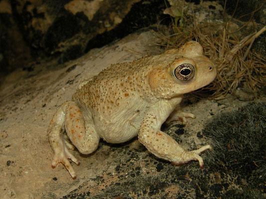 Lorestan Toad (Bufotes luristanicus)