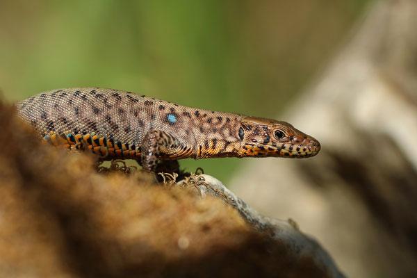 Greek Rock Lizard (Hellenolacerta graeca)