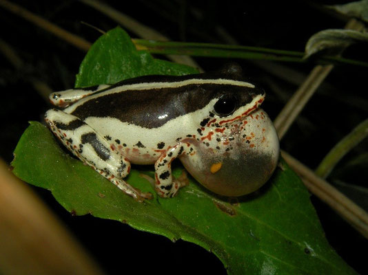 ....this beauty: a Common Reed Frog (Hyperolius viridiflavus) male calling.
