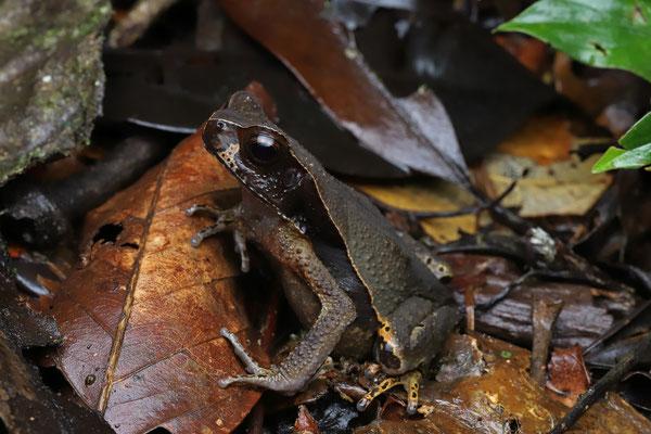 Smooth-skinned Toad (Rhaebo haematiticus)