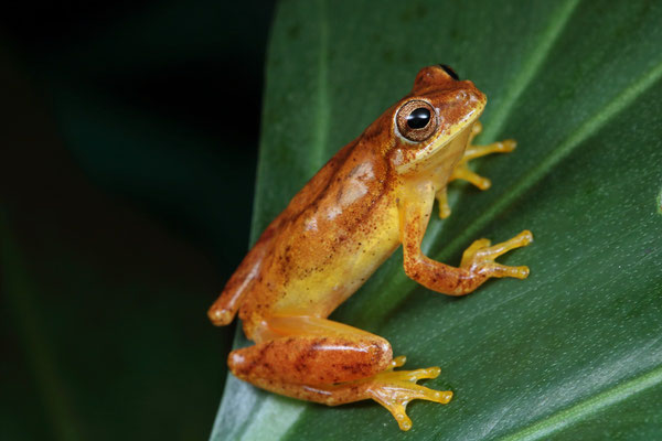 Small-headed Treefrog (Dendropsophus microcephalus)