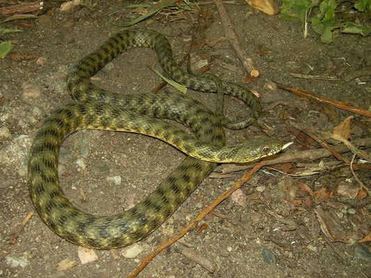Dice Snake (Natrix tessellata), Ohrid, Macedonia, July 2012