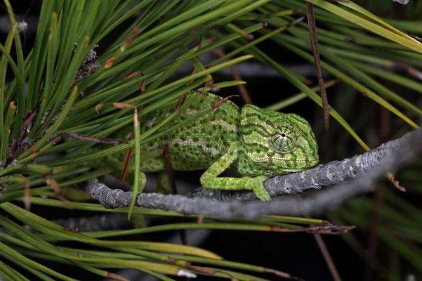 Small Mediterranean Chameleon (Chamaeleo chamaeleon) sleeping.