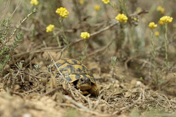 Grumpy Hermann's Tortoise (Testudo hermanni)