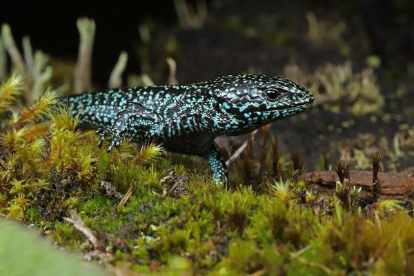 Highland Alligator Lizard (Mesaspis monticola)