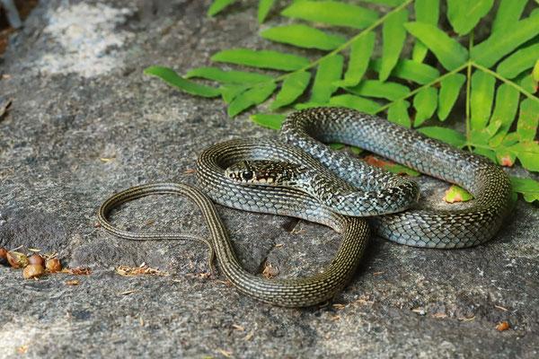 Western Whip Snake (Hierophis viridiflavus) subadult