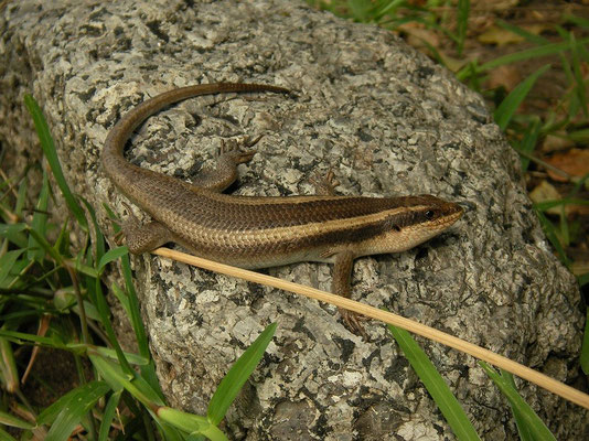 Striped Skink (Trachylepis striata)