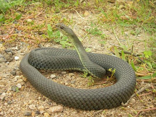 Eastern Montpellier Snake (Malpolon insignitus) male, Bulgarian Black Sea Coast, October 2014