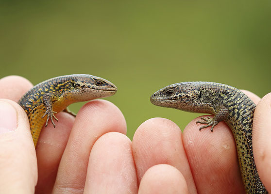 Cuchumatanes Alligator Lizard (left) and Morelet's Alligator Lizard (right) often occur syntopically.