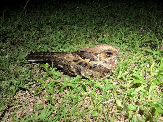 Common Pauraque (Nyctidromus albicollis)
