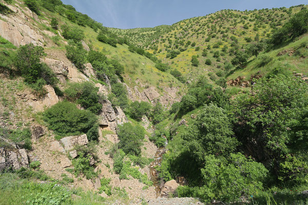 Habitat for Oriental Fire Salamander in thee streambed and Kurdistan Lizard on the slopes. © Laura Tiemann