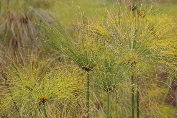 Papyrus (Cyperus papyrus)