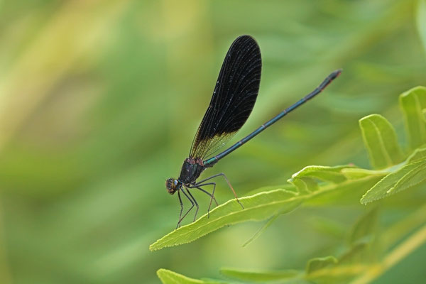 Copper Demoiselle (Calopteryx haemorrhoidalis) male