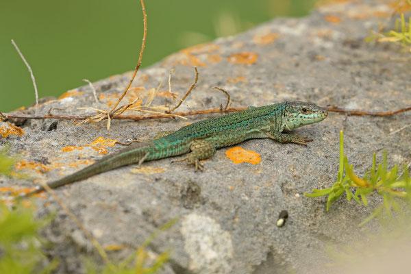 Ibiza Wall Lizard (Podarcis pityusensis) old male