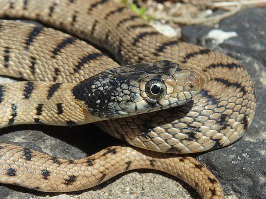 Algerian Whip Snake (Hemorrhois algirus) juvenile, Malta, April 2017