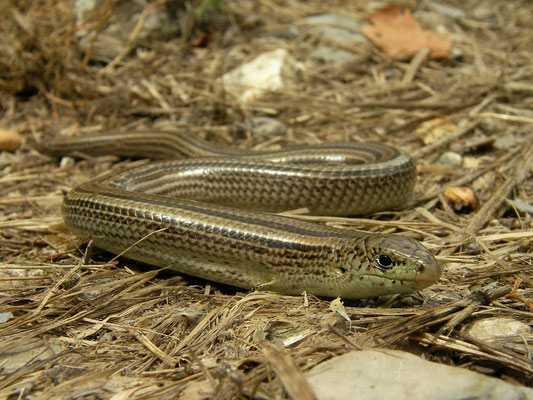 Italian Three-toed Skink (Chalcides chalcides), Liguria, Italy, July 2010