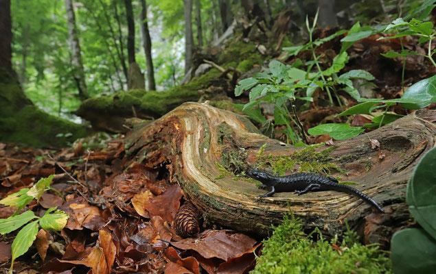 Alpine Salamander (Salamandra atra) in habitat