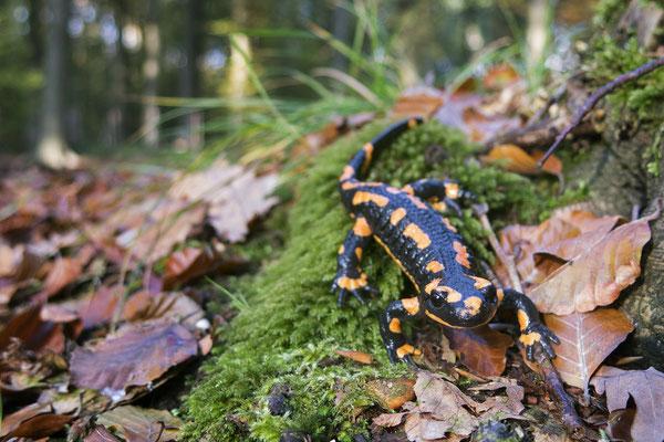 Fire Salamander (Salamandra salamandra terrestris), orangy individual