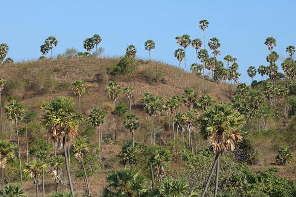 Asian Palmyra Palms (Borassus flabellifer)