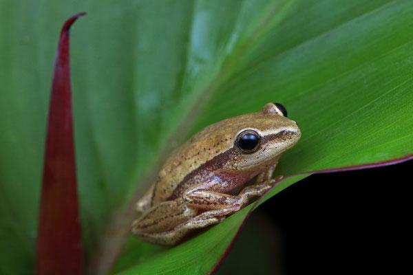 Kivu Reed Frog (Hyperolius kivuensis)