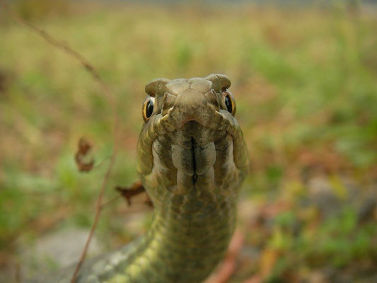 Eastern Montpellier Snake (Malpolon insignitus) male, Bulgarian Black Sea Coast, October 2014