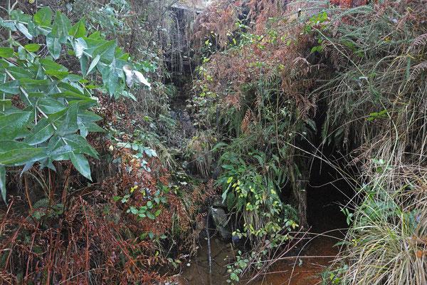 Habitat of Golden-striped Salamander.