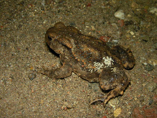 Common Toad (Bufo bufo) infected with Toadfly (Lucilia bufonivora) eggs.