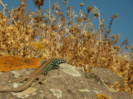 Milos Wall Lizard (Podarcis milensis), Milos, Greece, April 2013