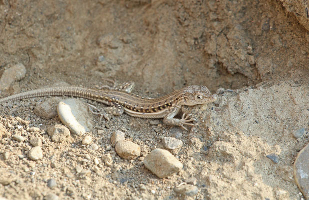 Central Asian Racerunner (Eremias velox)
