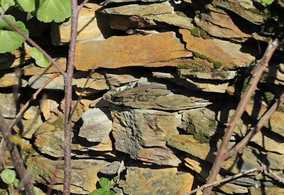 Bocage's Wall Lizard (Podarcis bocagei) basking