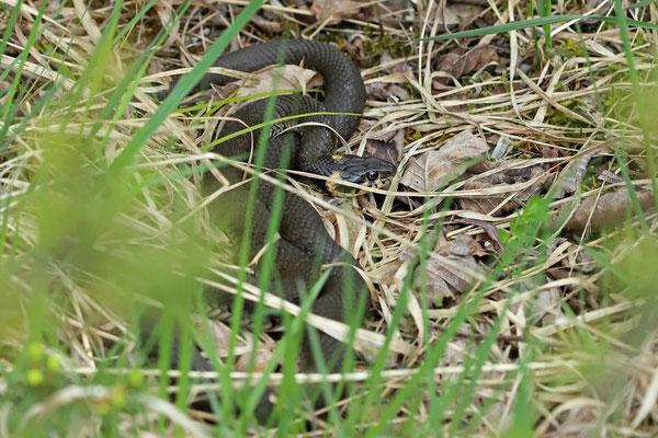 Grass Snake (Natrix natrix) female